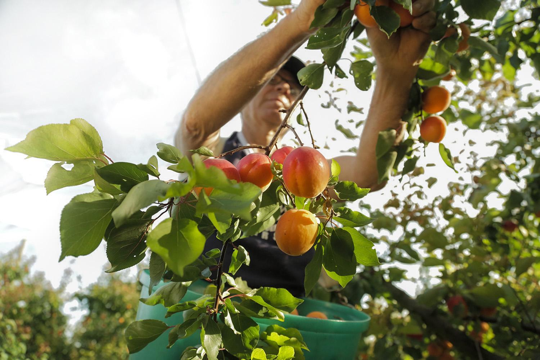 Jean-Philippe Boisset, producteur d'abricots