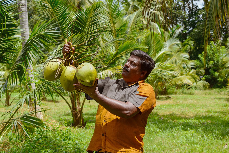 Keerthi Ranjith Ranwala, producteur expérimenté de noix de coco