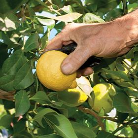 admance main citron femminello