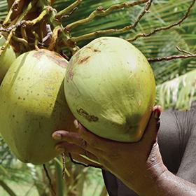 admance main noix de coco