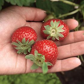 admance main fraise