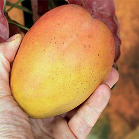 adamance mangue kesar et alphonso
